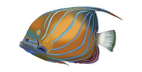Blaaringet kejserfisk