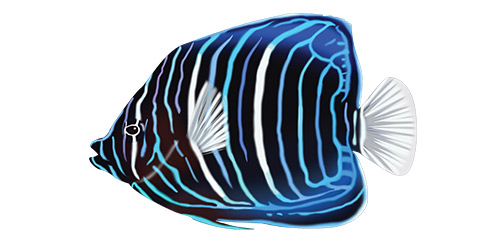 Blaaringet kejserfisk ung